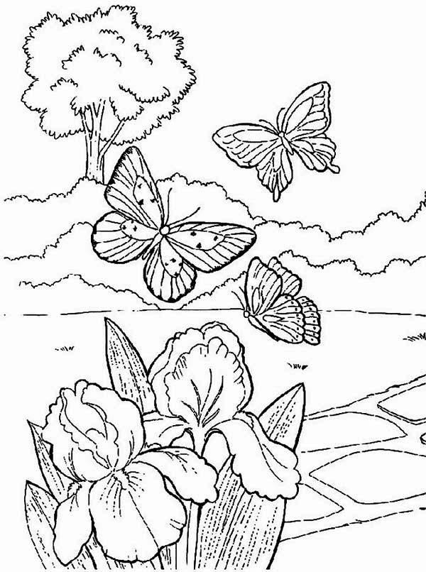 spring butterflies looking for spring flower coloring page butterflies looking for spring flower coloring - Spring Butterflies Coloring Pages