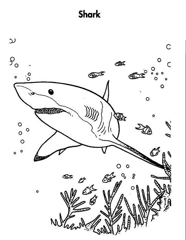 great white shark is hunting for the prey coloring page great - Great White Sharks Coloring Pages