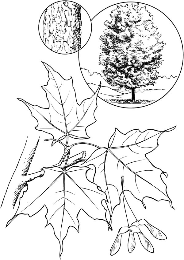 Maple Leaf Coloring Sheet Eassume Com Red