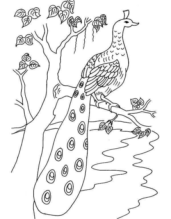 Peacock, : A Beautiful Peacock with Long Tail Feather Coloring Page