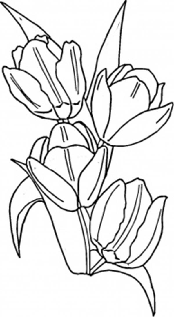 Tulips, : A Blooming Peony Tulips in Netherland Coloring Page