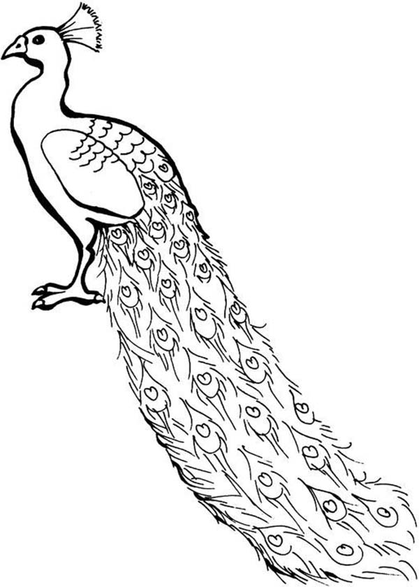 Peacock, : A Lovely African Congo Peacock Coloring Page