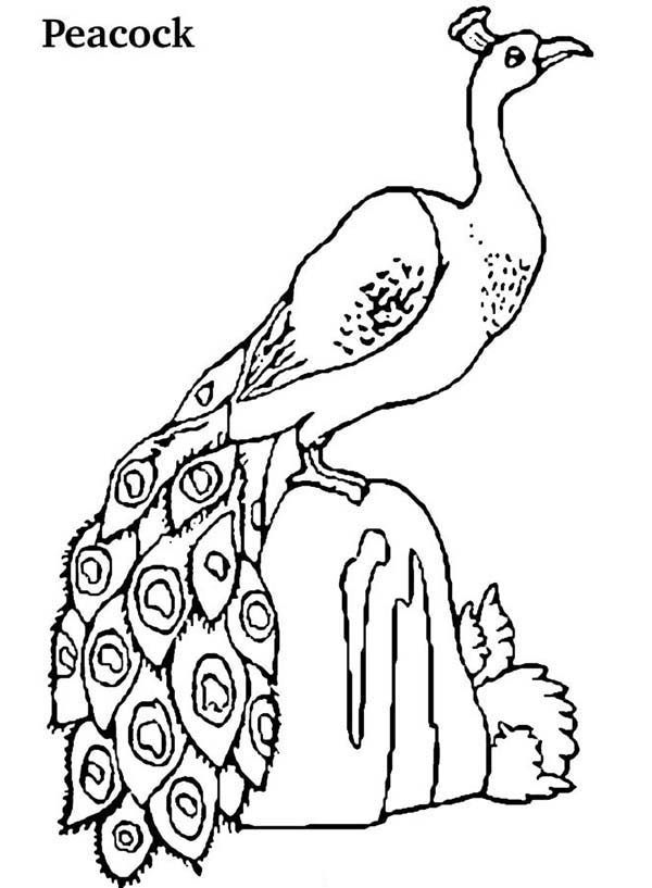 Peacock, : A Lovely Peacock with Long Train and Crest Coloring Page