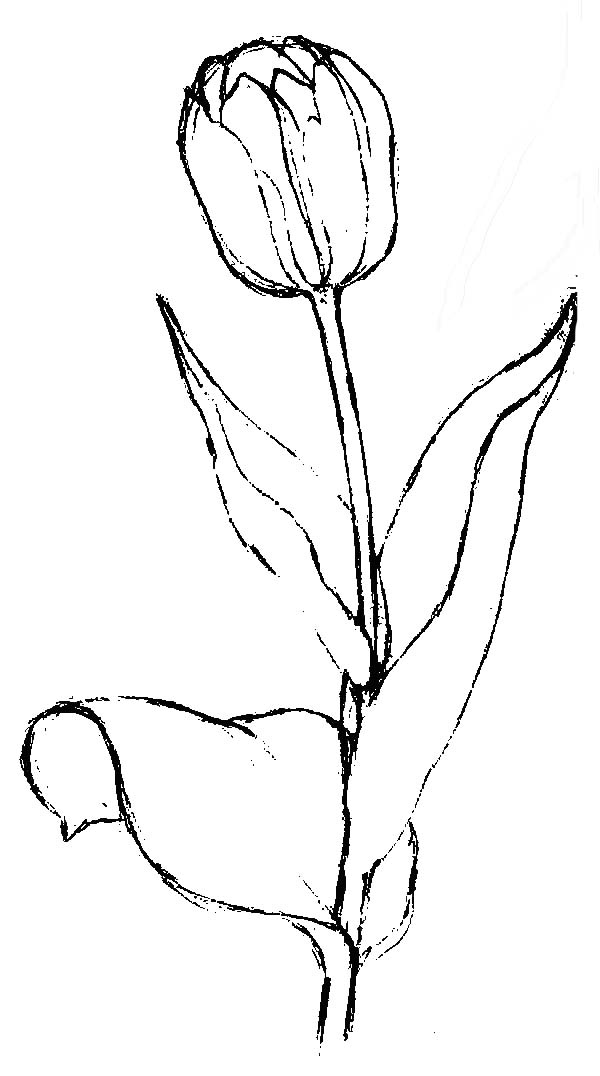 Tulips, : A Lovely Sketch of Finged Tulip Coloring Page