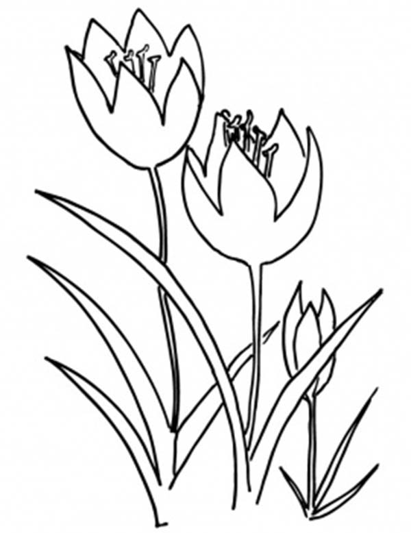 Tulips, : A Rare View of Fringed Tulip Fruits Coloring Page