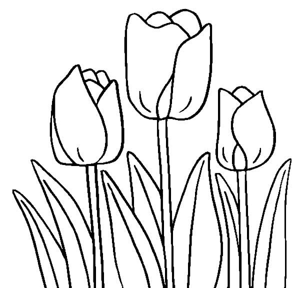 Tulips, : A Ready Cultivated Tulips Coloring Page
