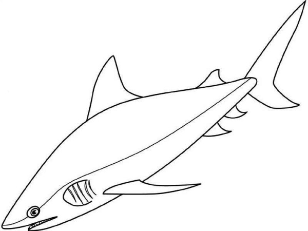 Sharks, : A Realistic Drawing of Bull Shark Coloring Page