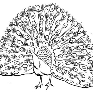Peacock Dancing Sketch Image of Male Peacock with