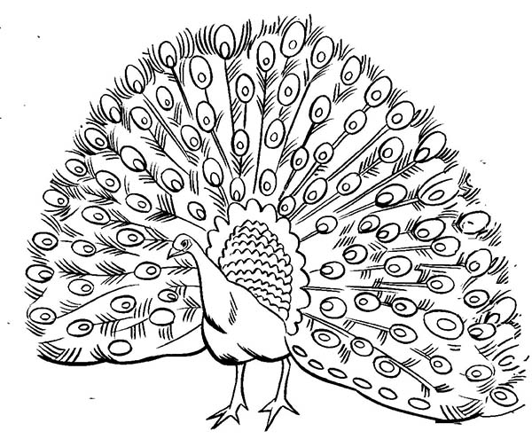 Peacock, : A Realistic Image of Male Peacock with Open Plumage Coloring Page