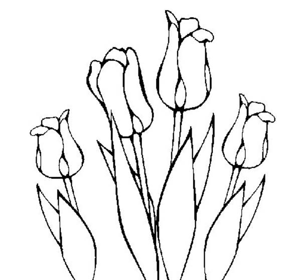 Tulips, : An Illustration of Tulips Cultivation Coloring Page