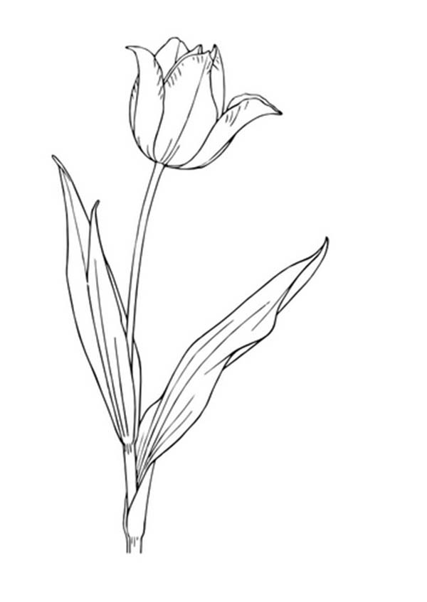 Tulips, : An Unique Flaming Parrot Tulip in Bloom Coloring Page