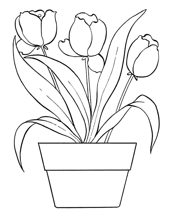 Tulips, : Beautiful Tulips on the Pot Coloring Page