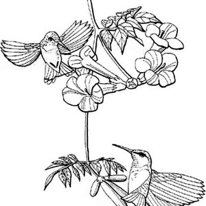 berylline hummingbirds looking for nectar coloring page
