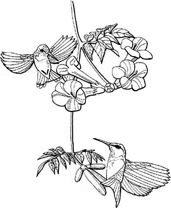 Hummingbirds, : Berylline-Hummingbirds-looking-for-nectar-coloring-page.jpg