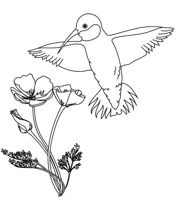 calliope hummingbird and flowers coloring page