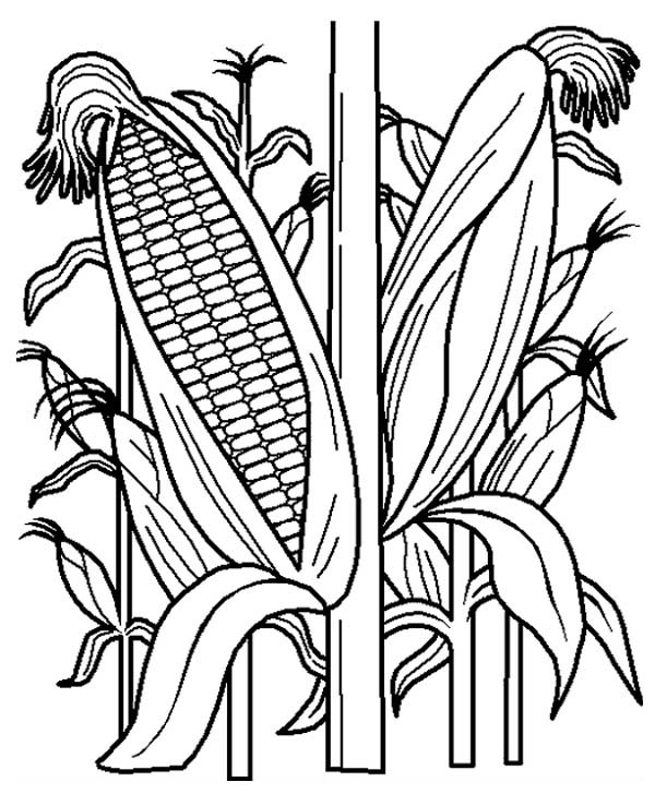 Fruits and Vegetables, : Cornstalk in the Corn Field Coloring Page