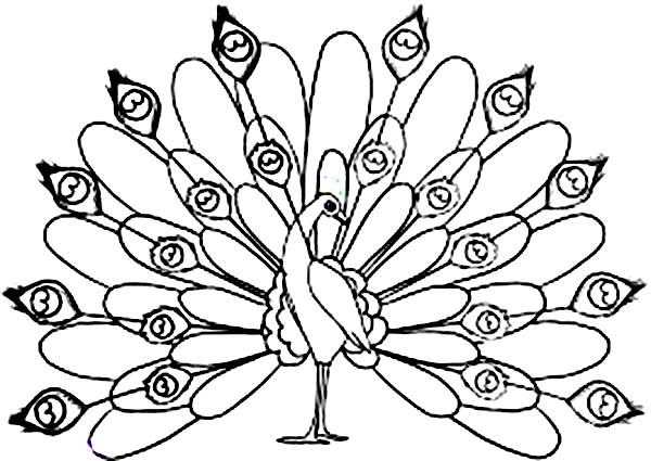 Peacock, : Male Peacock Fan His Beautiful Tail Out Coloring Page
