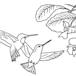 two black chinned hummingbird looking for flowers coloring page