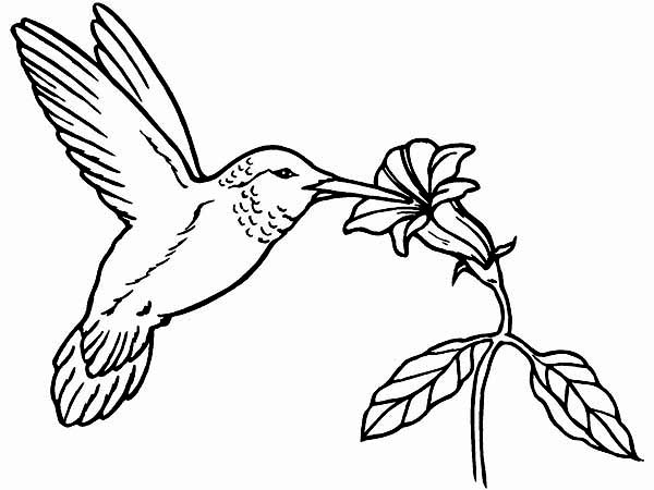 Hummingbirds, : Xantus-hummingbird-coloring-page.jpg