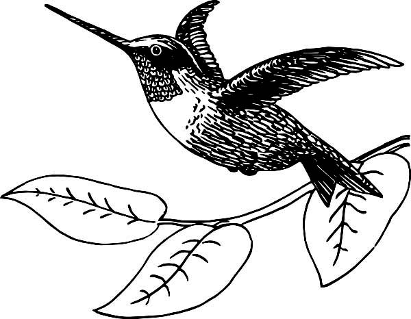 Hummingbirds, : flying-ruby-throated-coloring-page-to-print.jpg