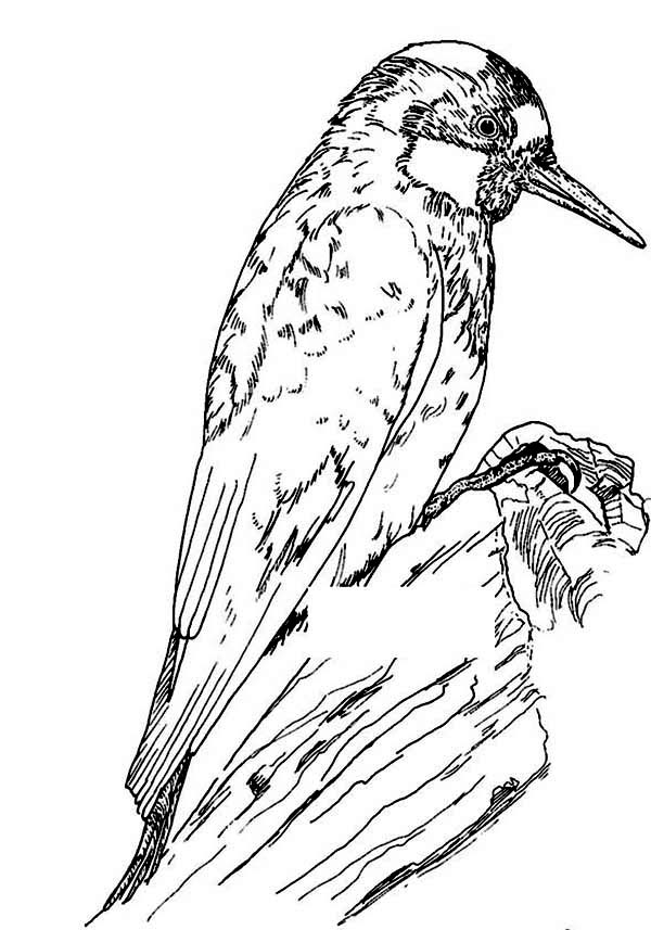 Hummingbirds, : gorgeous-acorn-woodpecker-coloring-page.jpg