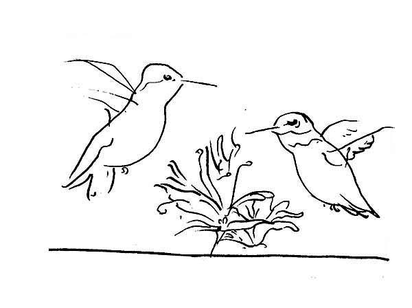 Hummingbirds, : humming-bird-pen-sketch-coloring-page.jpg