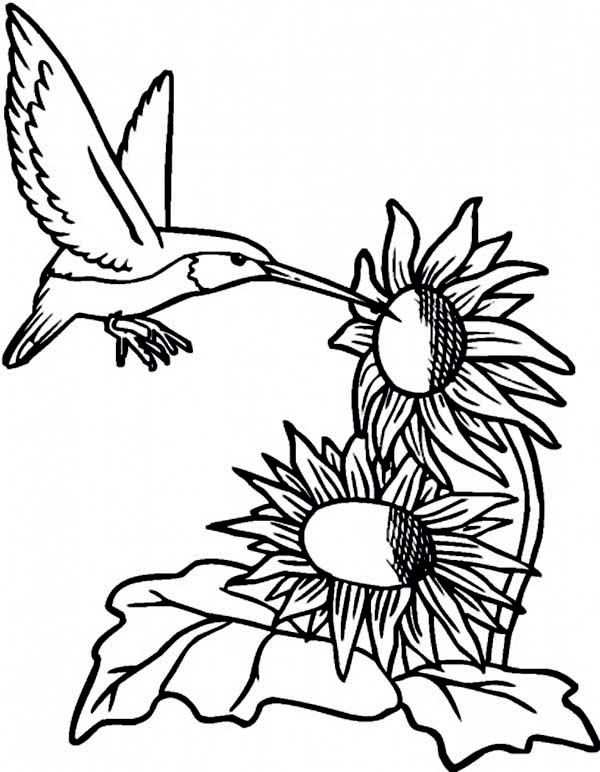 Hummingbirds, : hummingbird-extract-sunflowers-nectar-coloring-page.jpg