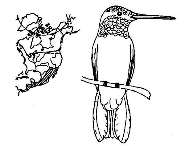 Hummingbirds, : hummingbird-migration-route-coloring-page.jpg