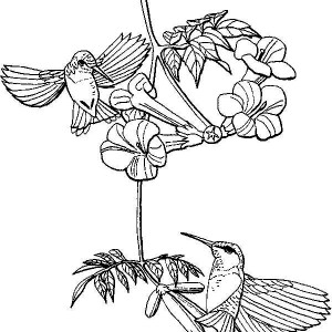 hummingbirds searching for nectar coloring page - Hummingbird Flower Coloring Pages