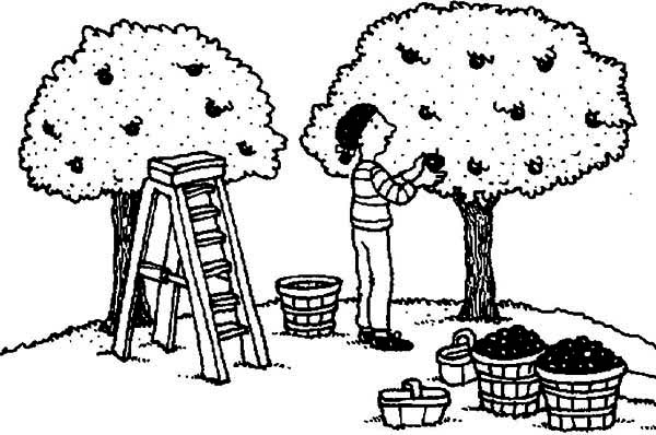 Apple Tree, : Farmer Harvest Apple From Apple Tree Coloring Page