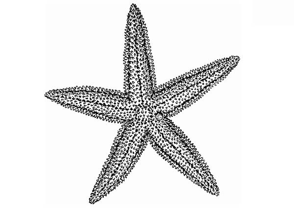 Starfish, : Long Starfish Coloring Page