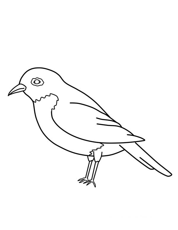 Robin, : American Robin Bird Coloring Page