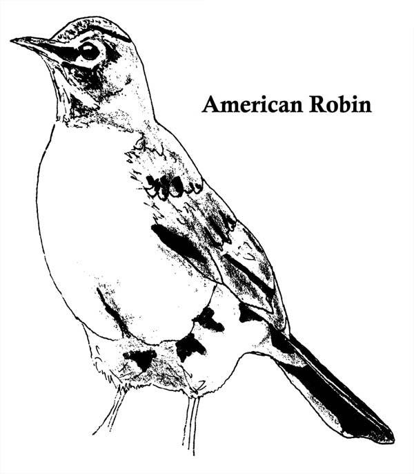 Robin, : American Robin Coloring Page