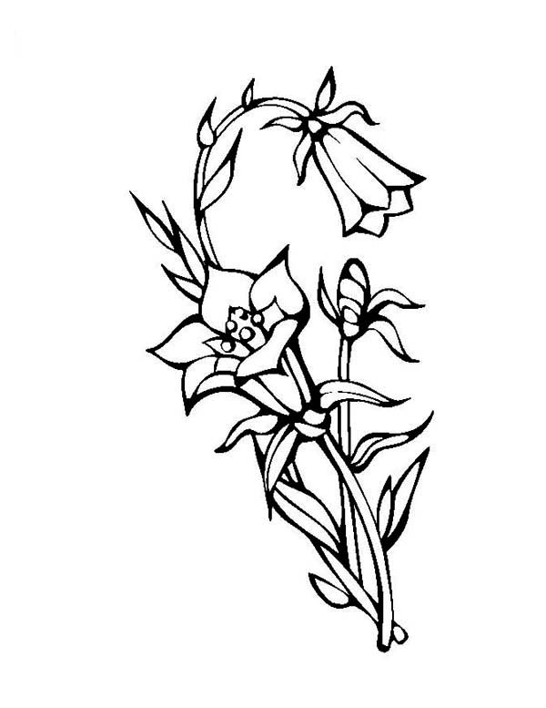 Flowers, : Beautiful Blooming Lily Flower Coloring Page