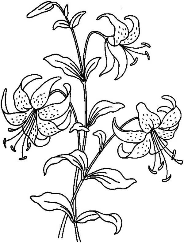 Flowers, : Beautiful Lily Flower Coloring Page