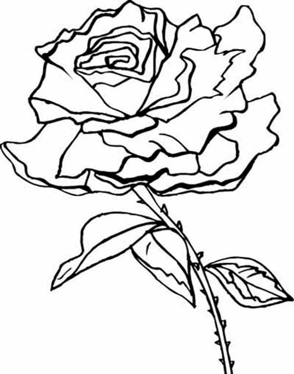 Flowers, : Beautiful Rose Flower Coloring Page