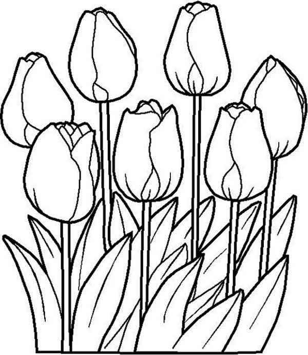 Flowers, : Beautiful Tulip Flower Coloring Page