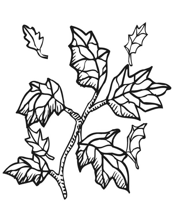 Fall Leaf, : Fall Leaf from Tree Branch Coloring Page