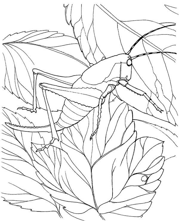 Grasshopper, : New Born Grasshopper Coloring Page