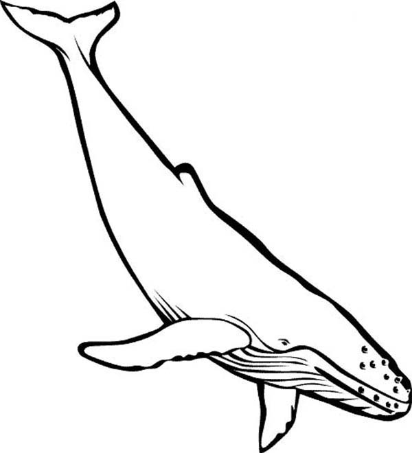 Whale, : Picture of Blue Whale Coloring Page