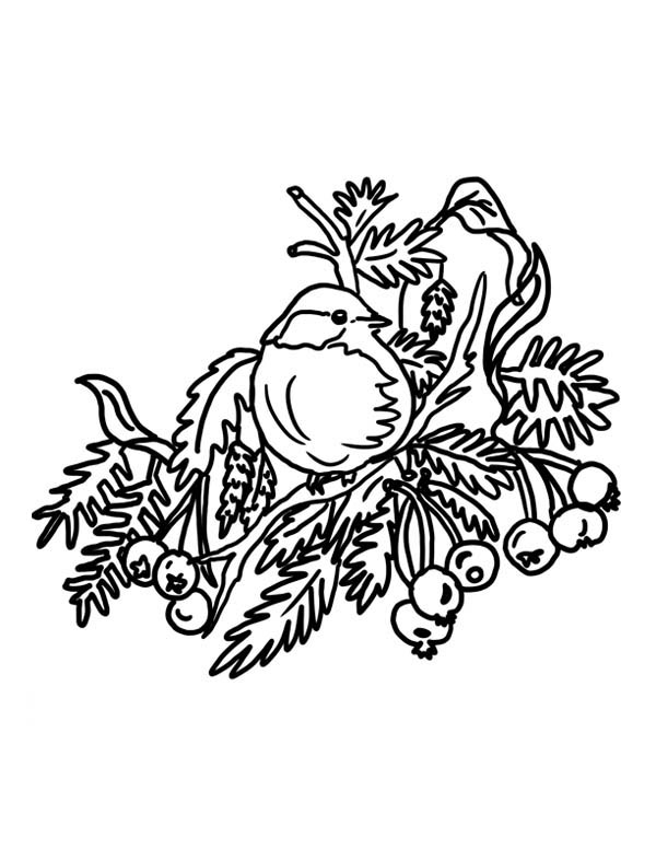 Robin, : Robin Bird on Christmas Tree Coloring Page
