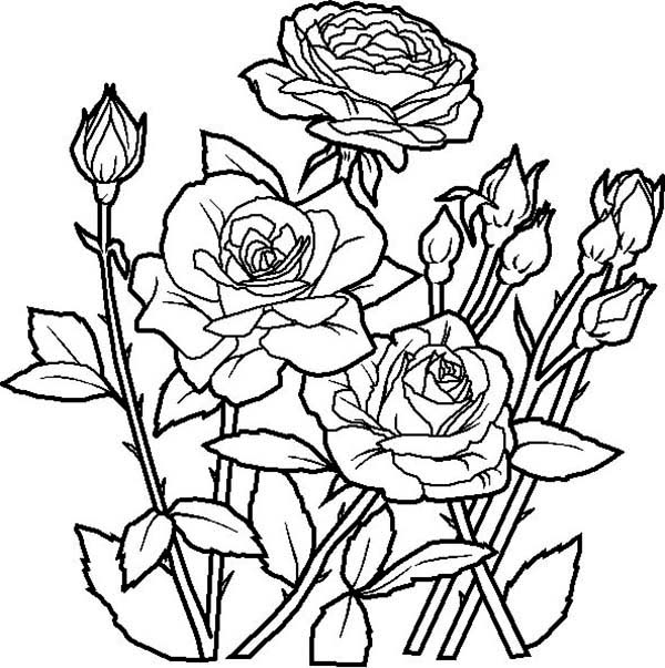 Flowers, : Rose Flower in the Garden Coloring Page
