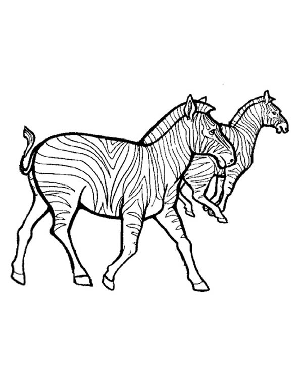 Zebra, : Small Harems of Zebra Coloring Page