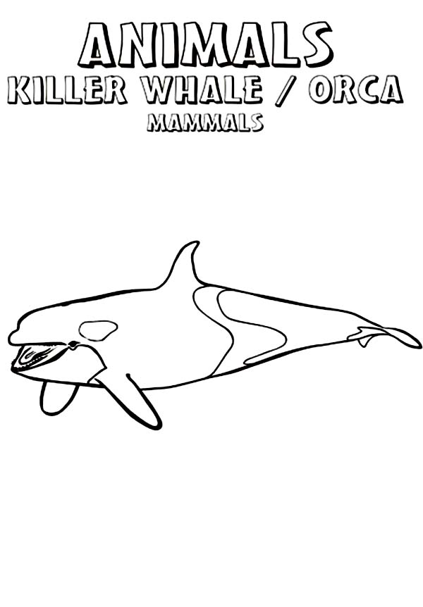 Whale, : The Wild Animal Killer Whale Coloring Page