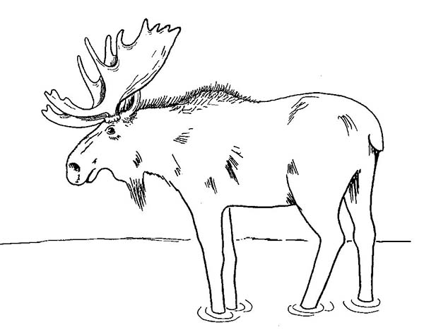 Moose, : An Old Moose Drink Coloring Page