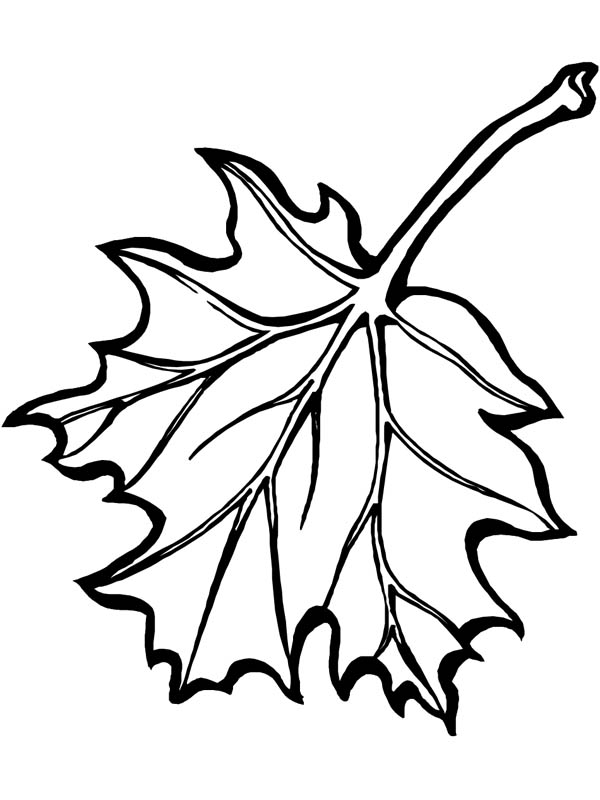 Maple Leaf, : Awesome Picture of Maple Leaf Coloring Page