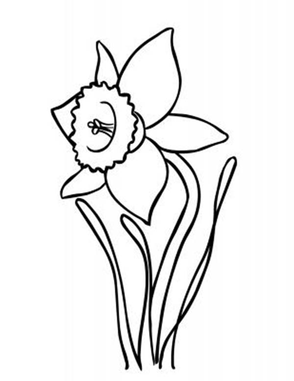Daffodil, : Beautiful Daffodil Flower Coloring Page