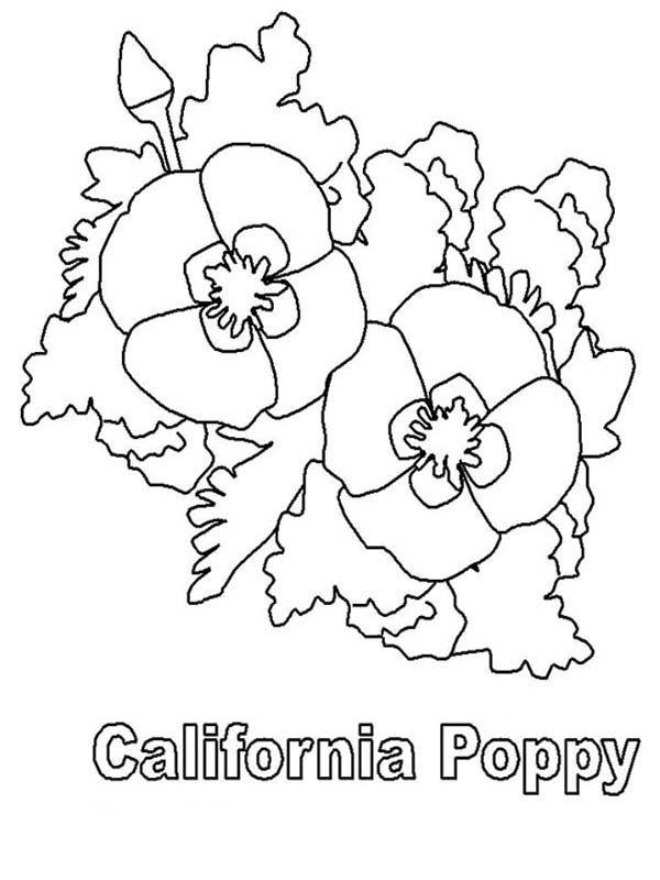 California Poppy, : California Poppy Picture Coloring Page