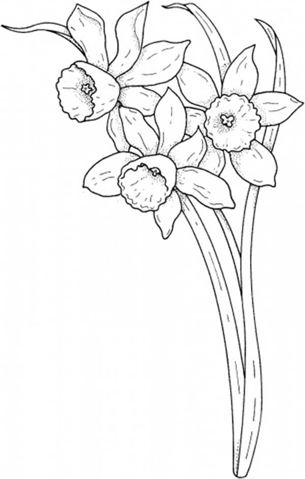 Daffodil, : Daffodil Coloring Page