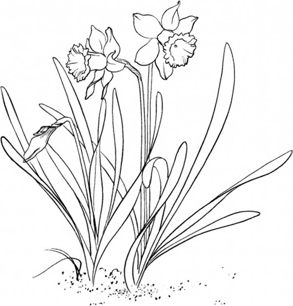 Daffodil, : Daffodil Flower Garden Coloring Page